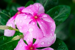 Pink Wrightia isolate  in sping sumer after raining. In the morning, technical cost-up Royalty Free Stock Photos