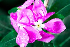 Pink Wrightia isolate  in sping sumer after raining. In the morning, technical cost-up Royalty Free Stock Photography