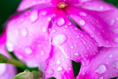 Pink Wrightia isolate  in sping sumer after raining. In the morning, technical cost-up Stock Image