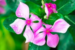 Pink Wrightia isolate  in sping sumer after raining. In the morning, technical cost-up Stock Photos