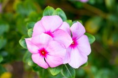 Pink Wrightia isolate in spring summer after raining royalty free stock photography