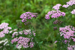 Pink yarrow Stock Images