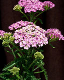 Pink Yarrow. Achillea Appleblossom Strong stems with large umbels of small flat pink flower-heads and heavily serrated green leaves against dark brown background Stock Image