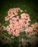 Pink Yarrow Royalty Free Stock Photo