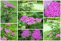 Pink Yarrow Royalty Free Stock Image