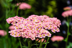 Pink Yarrow plant in bloom Stock Image