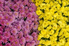 Pink and yellow autumn flowers Stock Images