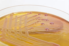 Pink and yellow bacterial culture on agar - sideview Royalty Free Stock Images