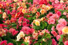 Pink and yellow beautiful begonia flowers field texture. Close up floral background.