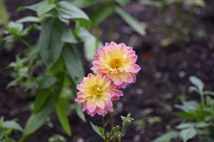 Pink and Yellow. The beauty of summer flowers Stock Photo