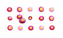 Pink and yellow Bellis Stock Photography