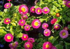 Pink and yellow Bellis Royalty Free Stock Photography