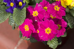 Pink, yellow, blue primrose flowers, primula cultivar. Royalty Free Stock Images