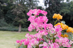Pink and yellow bougainvillea Royalty Free Stock Image