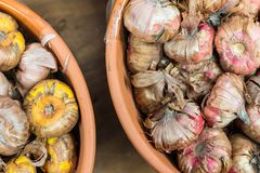 Pink and Yellow Bulbs. In clay pots for sale in garden center Royalty Free Stock Image