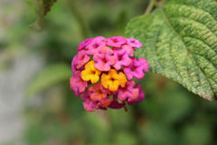 Pink and Yellow Bunches of Flowers Royalty Free Stock Photo