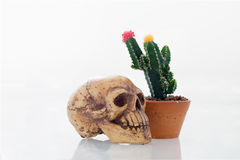 Pink and yellow cactus flower isolated background and skull. Colorful cactus flower in pink and yellow in flower pot and scary skull, the sign of death, on stock image