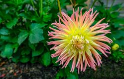 Pink and yellow cactus type dahlia in full bloom with green foli Royalty Free Stock Photography