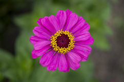 Pink-and-yellow gerbera Stock Photography