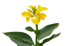 Canna flowers Royalty Free Stock Photo