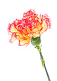 Pink and Yellow Carnation Stock Images