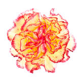 Pink and Yellow Carnation Royalty Free Stock Photo