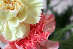Pink and yellow carnations. Two carnations with drops of water on the foreground flower royalty free stock images