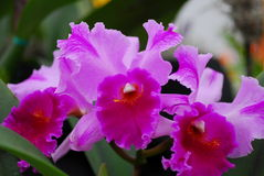Pink yellow cattleya orchid flower Stock Image