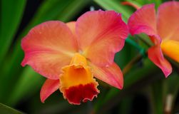 Pink yellow cattleya orchid flower Royalty Free Stock Image