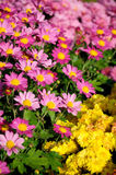 Pink and yellow Chrysanthemum Royalty Free Stock Images