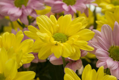 Pink and Yellow Chrysanthemums. Pink and yellow chrysanthemum flowers royalty free stock photos