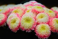 Pink and yellow Chrysanthemums in autumn. Chrysanthemum wallpaper. royalty free stock image