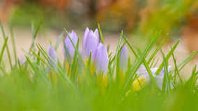 Pink yellow crocus Stock Photography