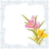 Pink and yellow crocuses in the frozen frame Royalty Free Stock Image