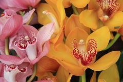 Pink and Yellow cymbidium orchids Stock Image
