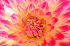 Pink and yellow dahlia Stock Photo