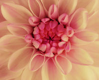 Pink-yellow dahlia flower blooms. Macro. red center. Closeup.  beautiful dahlia.  for design. Stock Photography