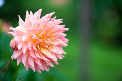 Pink and yellow Dahlia flower in full bloom closeup. Pink and yellow Dahlia flower in full bloom Royalty Free Stock Images