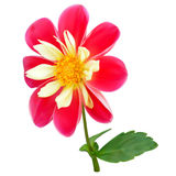 Pink-yellow dahlia flower Stock Photography