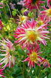 Pink and yellow dahlia flowers Stock Image