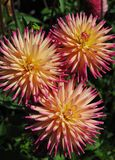 Pink and Yellow Dahlias Royalty Free Stock Image