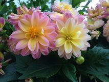 Pink and Yellow Dahlias. Pink and yellow dahlias growing in clusters, focused on two dahlias in full bloom Royalty Free Stock Photography