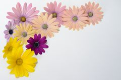 Pink and yellow daisies Royalty Free Stock Photo