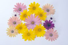 Pink and yellow daisies Stock Photo