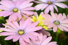 Pink and yellow daisies. Background stock photography