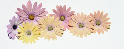 Pink and yellow daisies Stock Photography