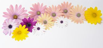 Pink and yellow daisies Stock Images
