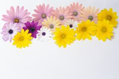 Pink and yellow daisies. Background royalty free stock photos