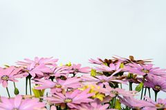 Pink and yellow daisies. Isolated royalty free stock images