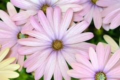 Pink and yellow daisies. Isolated stock photos